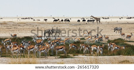 African animals of different species close to a waterhole in Etosha National Park. - stock photo