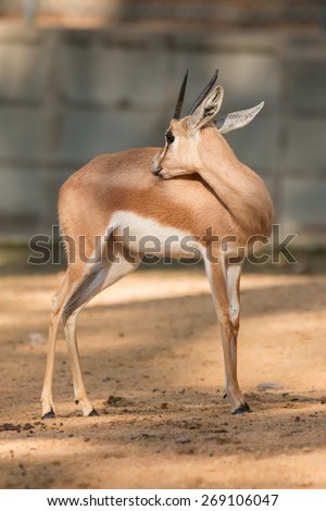 African antelope in a zoo