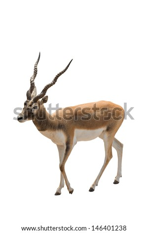 African antelope isolated on white. - stock photo