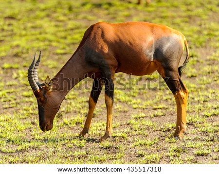 African antelopes with huge horns on the field of Africa