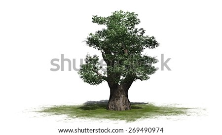 African Baobab tree - isolated on white background
