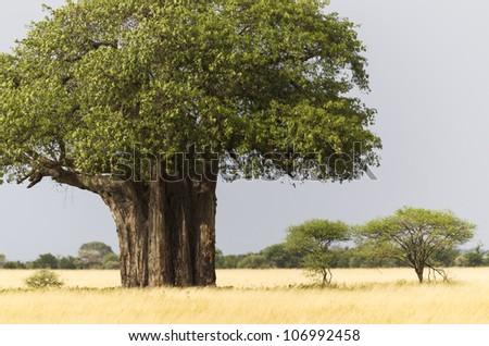 African Baobab tree with yellow grass, Tarangire National Park, Tanzania, East Africa - stock photo
