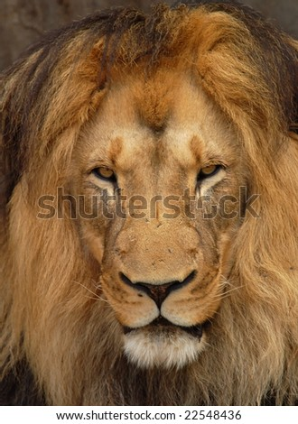 African Barbary Lion in Africa.