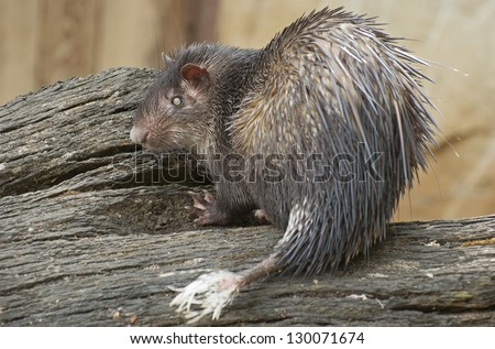 African brush-tailed porcupine - stock photo