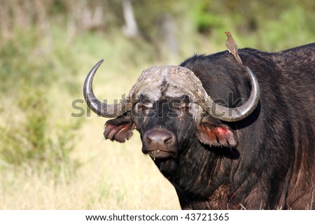 African Buffalo and ox-pecker