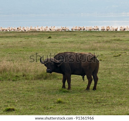 African buffalo and pelicans on the Lake Nakuru National Park - Kenya - stock photo