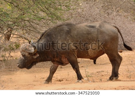 African buffalo bull walking towards the river in a bachelor herd