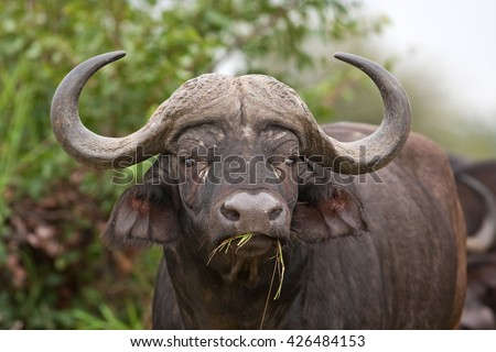 African buffalo, Cape buffalo, Syncerus caffer, Kruger national park, South Africa