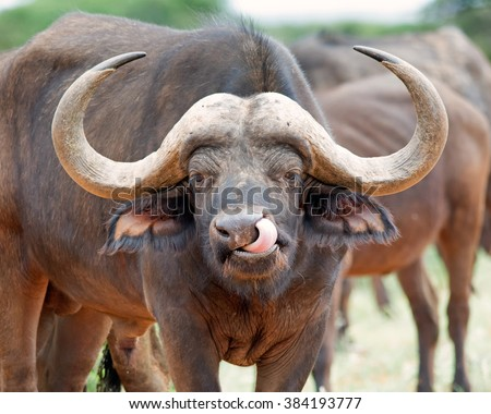 African Buffalo cleaning it's nose with it's tongue