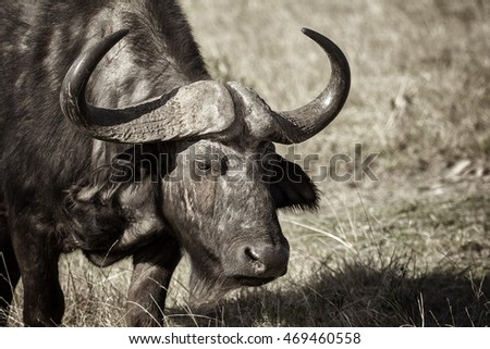 african buffalo close up of face and horns in the open grassland monochrome