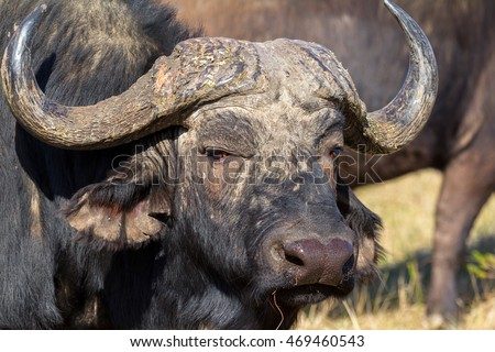 african buffalo close up of face and horns showing a wild nature