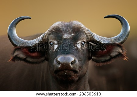 African buffalo cow (Syncerus caffer) portrait - Kruger National Park (South Africa) - stock photo