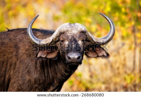 African Buffalo in Kruger National Park, South Africa - stock photo