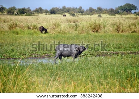 African buffalo in mud in Murchison Falls National Park, Uganda
