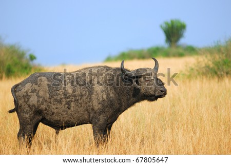 African buffalo in the savannah, Uganda - stock photo