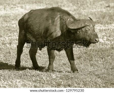 African buffalo on the Crater Ngorongoro National Park - Tanzania, Eastern Africa (stylized retro) - stock photo