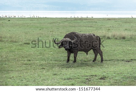 African buffalo on the Lake Nakuru National Park - Kenya, East Africa - stock photo