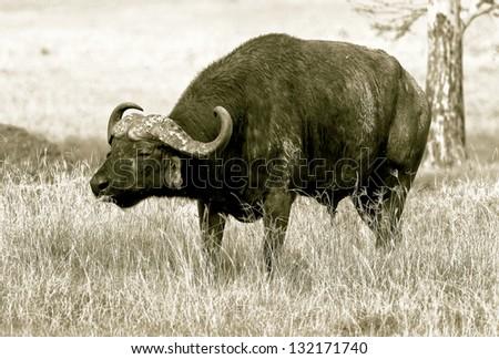 African buffalo on the Lake Nakuru National Park - Kenya (stylized retro) - stock photo