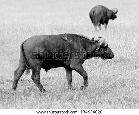 African buffalo on the Masai Mara National Reserve - Kenya (black and white) - stock photo