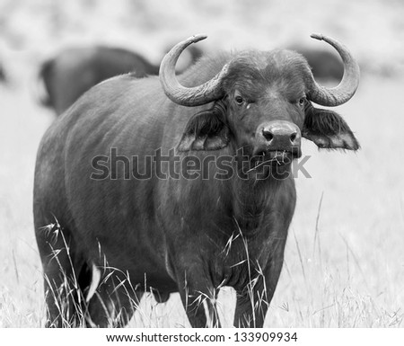 African buffalo  on the Masai Mara National Reserve - Kenya, Eastern Africa (black and white) - stock photo