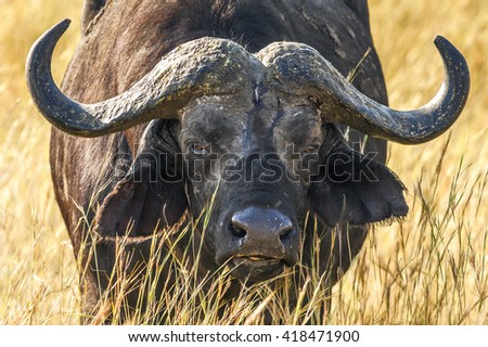 African buffalo portrait (Syncerus caffer)  against a yellow faded grass. Africa   - stock photo
