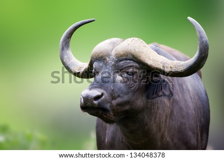 African buffalo portrait; Syncerus caffer; South Africa - stock photo