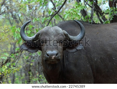 African Buffalo (Syncerus caffer) in the Kruger Park, South Africa. - stock photo