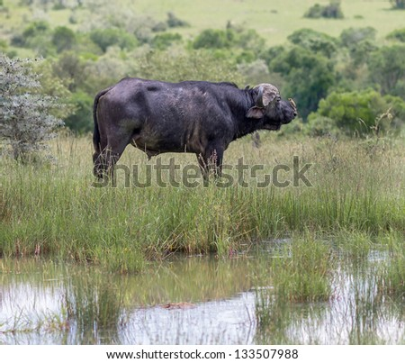 African buffalo with a bird on his back on the Masai Mara National Reserve - Kenya, East Africa - stock photo