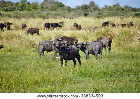 African buffalos in grass in Murchison Falls National Park, Uganda