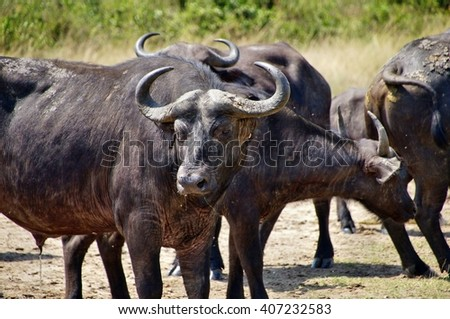 African buffalos in Queen Elizabeth National Park, Uganda