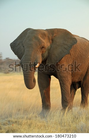 African Bull Elephant at Etosha National Park in Namibia - stock photo