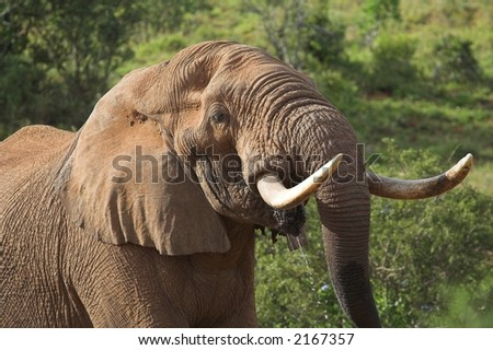African Bull Elephant drinking water close up - stock photo