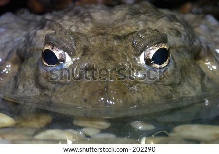 African bullfrog - stock photo