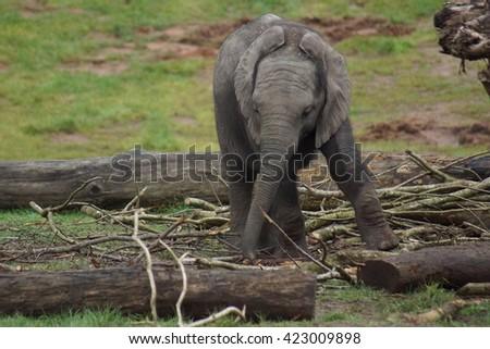 African Bush Elephant calf - Loxodonta africana - stock photo