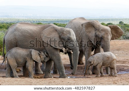 African bush elephant family structure - The African bush elephant is the larger of the two species of African elephant.