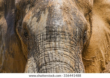 African bush elephant in Kruger national park, South Africa ; Specie Ceratotherium simum simum - stock photo