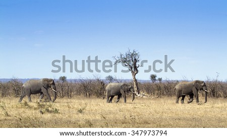 African bush elephant in Kruger national park, South Africa ; Specie Loxodonta africana family of Elephantidae - stock photo
