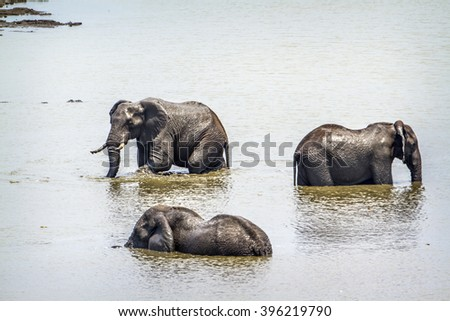 African bush elephant in Kruger national park, South Africa ; Specie Syncerus caffer and Loxodonta africana - stock photo
