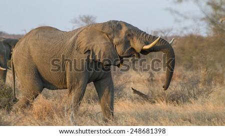 African bush elephant (Loxodonta africana) - stock photo