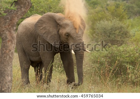 African Bush Elephant,Loxodonta africana, having a dust bath. South Africa, Timbavati game reserve.