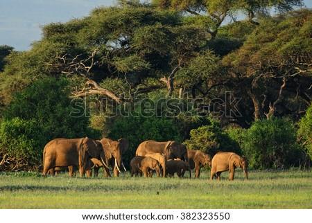 African Bush Elephant - Loxodonta africana, Kenya, Africa - stock photo