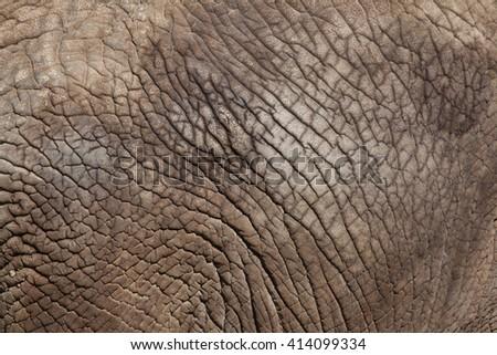 African bush elephant (Loxodonta africana). Skin texture. Wild life animal.  - stock photo