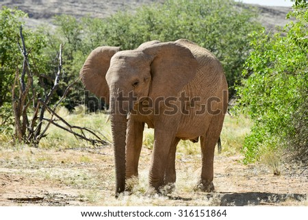 African bush elephant (Loxodonta africana) that have made their homes in the Namib. Desert dwelling elephants are uniquely adopted to extremely dry and sandy conditions. - stock photo
