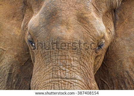 African bush elephant portrait in Kruger national park, South Africa ; Specie Loxodonta africana family of Elephantidae - stock photo