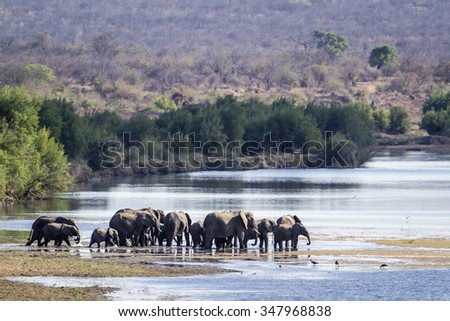 African bush elephant Specie Loxodonta africana family of Elephantidae - stock photo