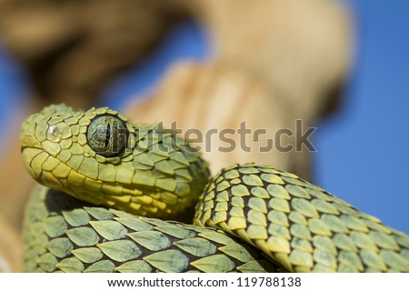 African Bush Viper (Atheris squamigera): A Highly Poisonous Ambush Predator - stock photo