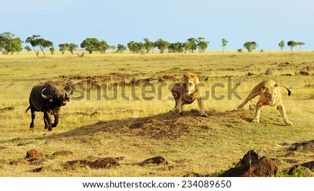African Cape or Water Buffalo (Syncerus caffer) charges African Lions (Panthera leo) on the Masai Mara National Reserve safari in southwestern Kenya. - stock photo