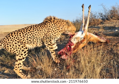 African Cheetah - stock photo