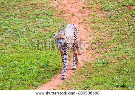 African Cheetah (Acinonyx jubatus) in the grass
