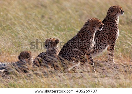African cheetah family on watch on a knoll, Masai Mara, Kenya, Africa